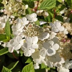 Hydrangea paniculata Early Sensation - Syrenhortensia