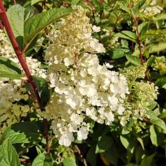 Hydrangea paniculata Sundae Fraise - Syrenhortensia
