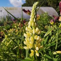 Lupinus polyphyllus Kronleuchter / Lupin