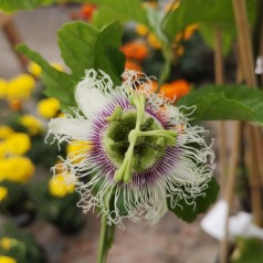 Passiflora edulis - Passionsfrugt / Passionsblomst