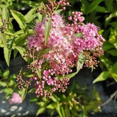 Spiraea japonica Genpei (Shirobana) - Tofarvet spiræa