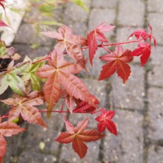 Acer palmatum Beni-komachi