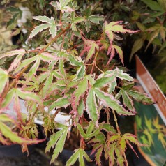 Acer Palmatum Butterfly
