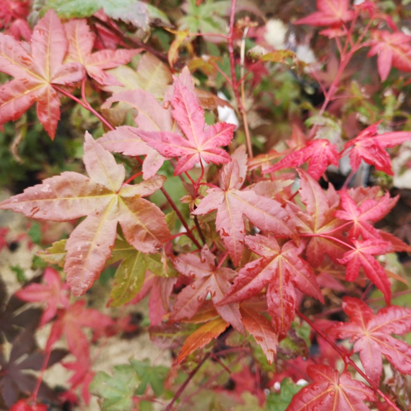 Acer palmatum Deshojo