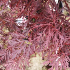 Acer palmatum Dissectum Garnet