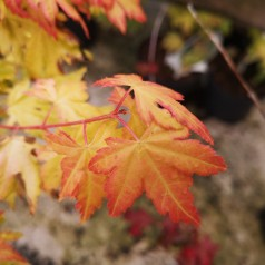 Acer palmatum Little Princess