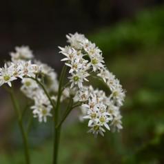 Aceriphyllum Rossii / Ahornblad