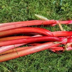 Jordbærrabarber / Rheum rhaponticum Fultons Strawberry Surprise