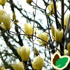 Magnolia Yellow River / Magnolia