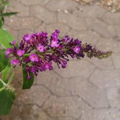 Buddleja davidii Buzz Trio - 3 farvet dværg Sommerfuglebusk