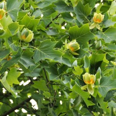 Liriodendron tulipifera - Alm. Tulipantræ