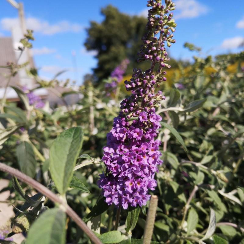 Buddleja davidii Lo & Behold Lilac Chip - Dværg Sommerfuglebusk