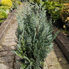 Chamaecyparis lawsoniana Van Pelts Blue / Cypres