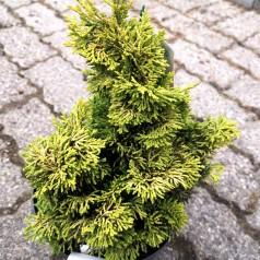 Chamaecyparis obtusa Aurea - Kruset Cypres