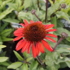 Echinacea purpurea SunSeekers Orange - Purpursolhat