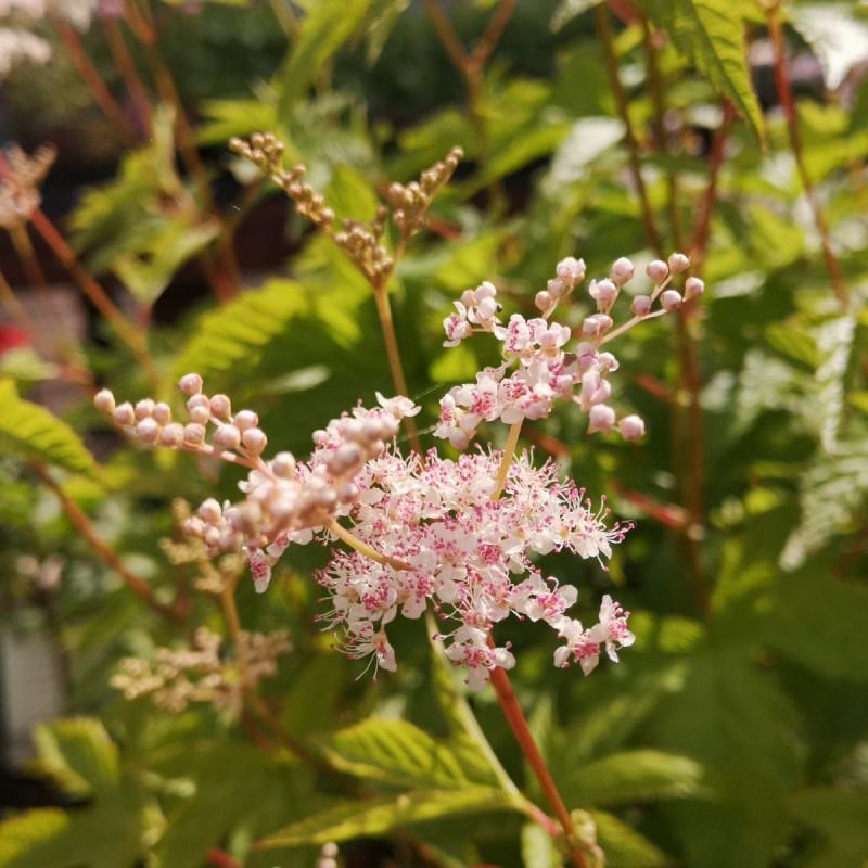 Filipendula purpurea Elegans - Mjødurt