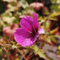 Geranium psilostemon J.S. Matu Vu / Storkenæb