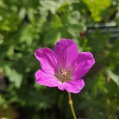 Geranium sanguineum Ankums Pride - Storkenæb