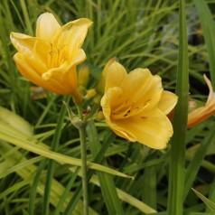 Hemerocallis hybrid Stella d'Oro / Daglilje