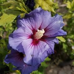 Hibiscus syriacus Blue Bird / Syrisk Rose