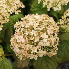 Hydrangea arborescens BellaRagazza Blanchetta - Hortensia