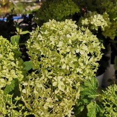 Hydrangea arborescens BellaRagazza Limetta - Hortensia