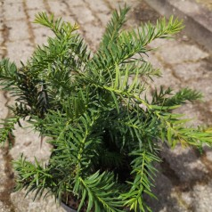 Taxus baccata Repandens - Krybende Taks