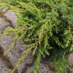 Juniperus communis Green Carpet - Krybende Ene
