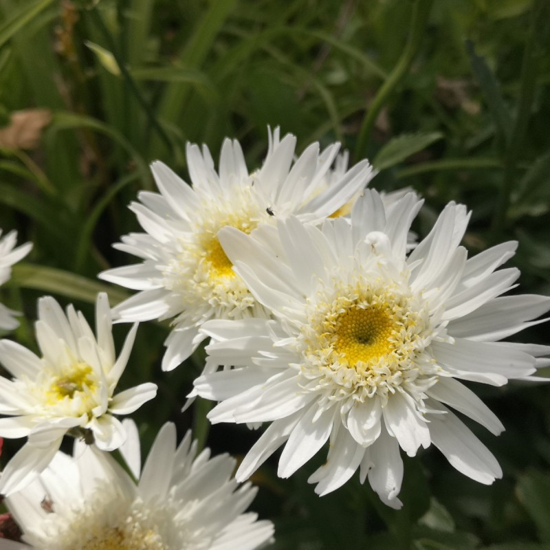 Leucanthemum superbum Wirral Supreme / Kæmpemargerit
