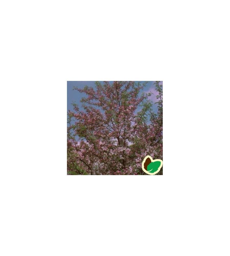 Malus floribunda / Japansk Paradisæble 175-200 cm.