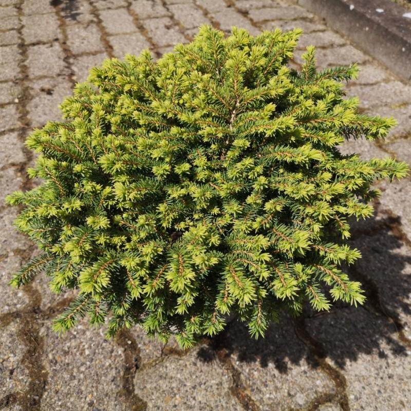Picea abies Little Gem - Dværggran