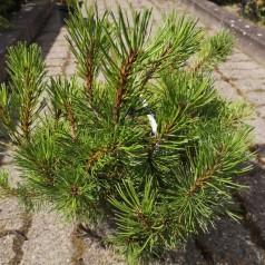 Dværgfyr - Pinus mugo Mughus