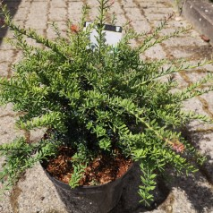 Podocarpus alpinus Blue Gem - Sydtaks