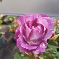 Rose Blue for You / Buketrose - Barrods