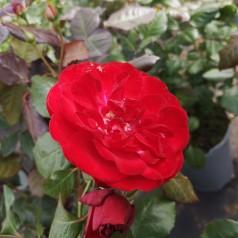 Rose Christian IV / Buketrose - Barrods