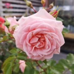 Rose Dronning Margrethe - Palace Rose