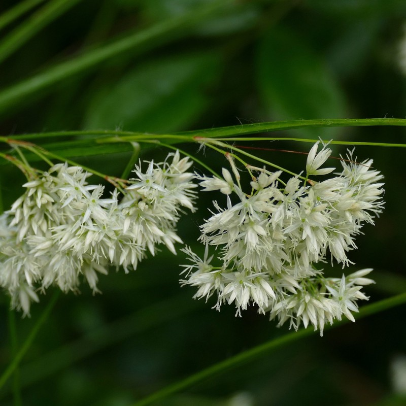 Luzula nivea / Snefrytle