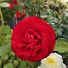 Rose Kronborg - Slotsrose / Barrods