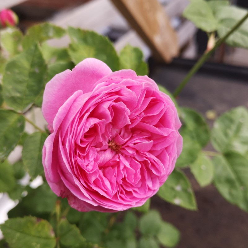Rose Louise Odier - Gammeldags Rose / Barrods