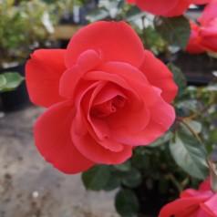 Rose Schackenborg / Slotsrose