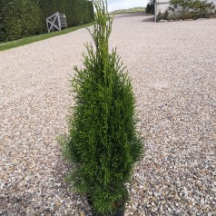 Thuja occidentalis Smaragd / 60-80 cm.
