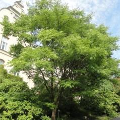 Phellodendron amurense - Korktræ