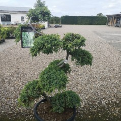 Bonsai Kinesisk Ene 100-125 cm - Juniperus Chinensis Blue Alps