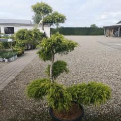 Bonsai Kinesisk Ene 100-125 cm - Juniperus pfitzeriana Aurea
