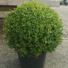 kuglebuksbom 40-50 cm - Buxus sempervirens