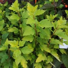 Physocarpus opulifolius Tiny Wine Gold / Gul dværg blærespiræa