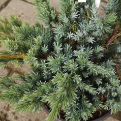 Juniperus squamata Meyeri - Enebær