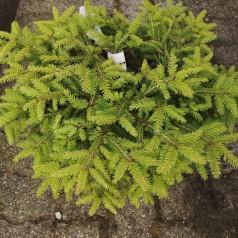 Picea abies Nidiformis - Fugleredegran