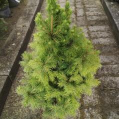 Picea glauca Conica - Sukkertop / 40-50 cm.