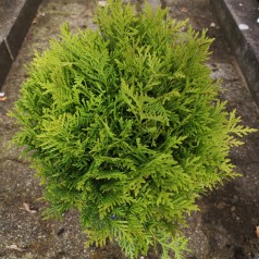 Thuja occidentalis Danica - Kuglethuja
